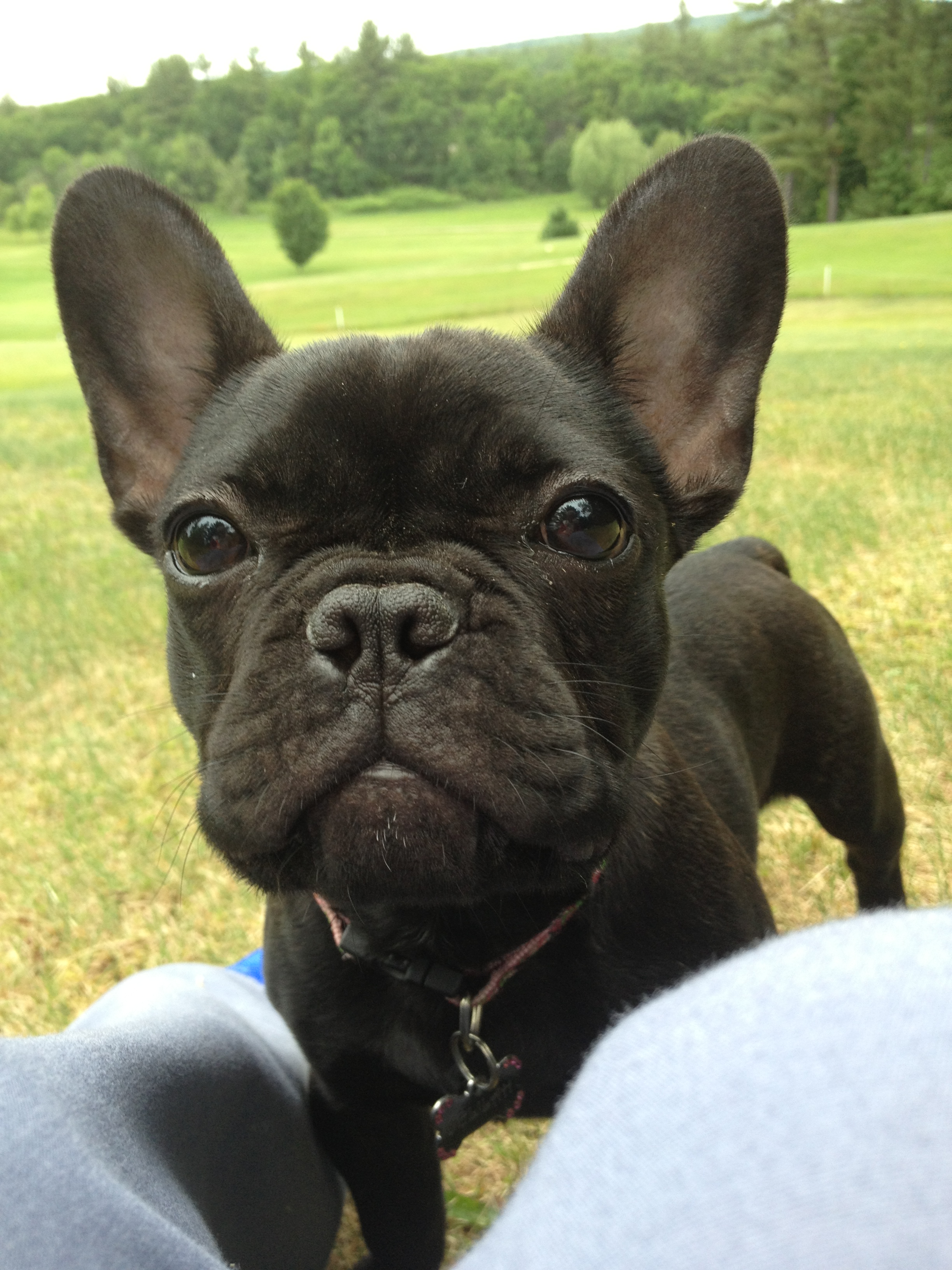 french bulldog maine past french bulldog puppies hobby breeders corner 5631