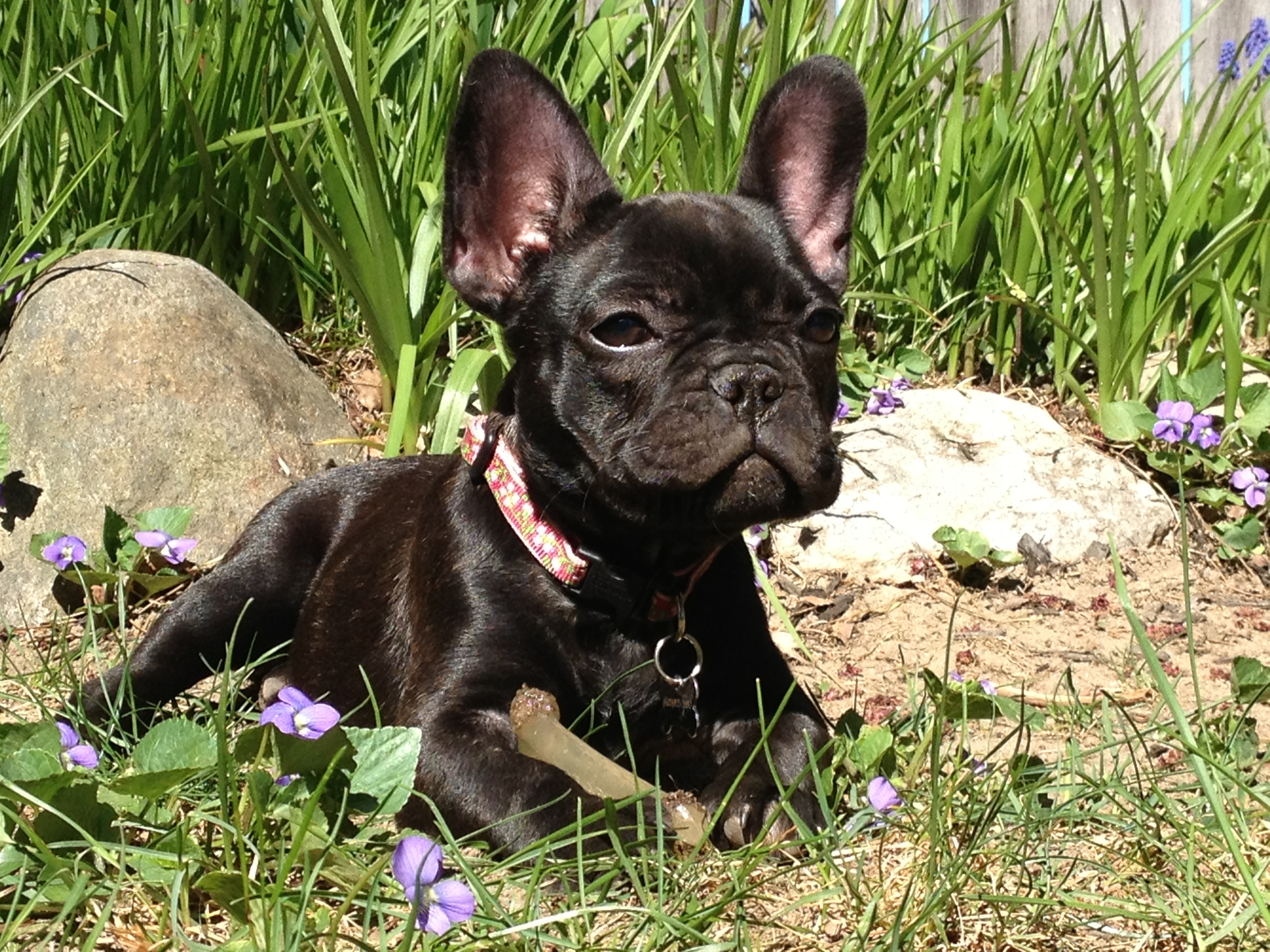 french bulldog maine past french bulldog puppies hobby breeders corner 8745