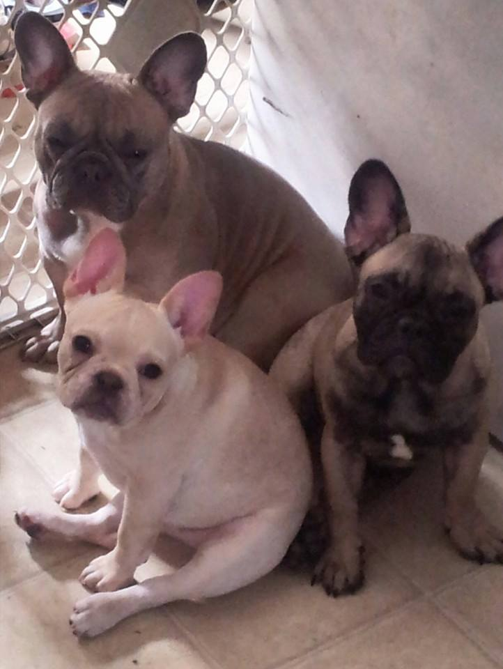french bulldog maine hobby breeders corner french bulldogs breeder puppies 1065
